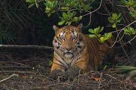 Land of Royal Bengal Tiger(Sundarban )